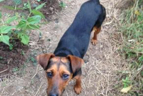 Discovery alert Dog Female , 2 years Bréal-sous-Montfort France