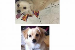Disappearance alert Dog miscegenation  Female , 4 years Cayenne France