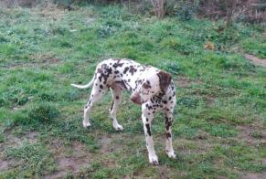 Disappearance alert Dog  Male , 6 years Taupont France